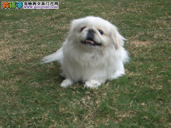 出售京巴幼犬,真实照片保纯保质,质保健康90天