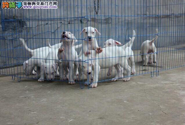 捕猎高手 纯种杜高犬 2到3个月幼犬