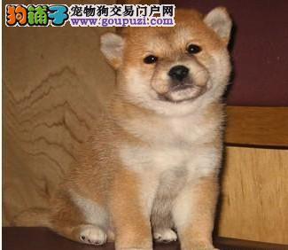 延安出售柴犬幼犬品质好有保障微信咨询看狗狗照片