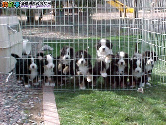 纯种可爱伯恩山幼犬2到三个月幼犬