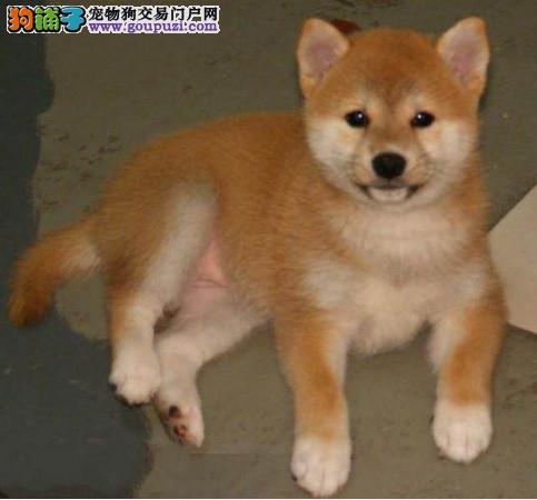 实物拍摄的西安柴犬找新主人签署各项质保合同