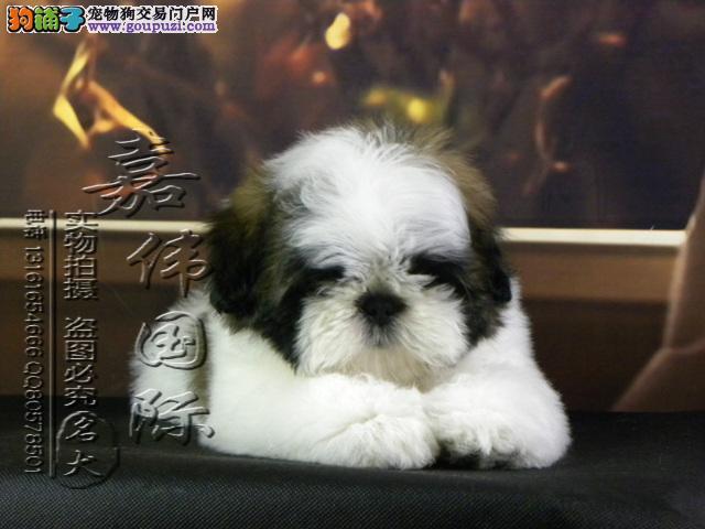 专业繁殖西施犬幼犬出售保证纯种健康签合同