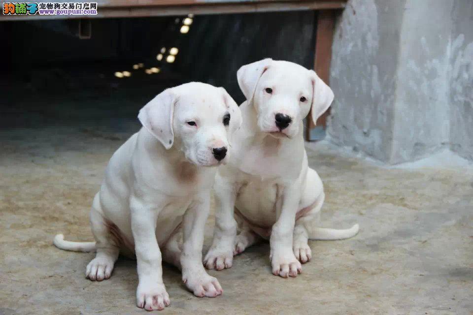 杜高犬纯种杜高犬 哪里有猎犬杜高