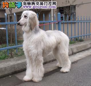 高品质阿富汗猎犬幼犬,血统认证保健康,讲诚信信誉好