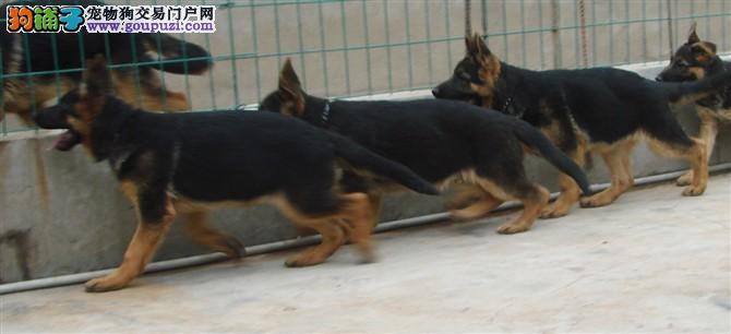 出售德国牧羊犬 价格公道 质量有保障 可签协议