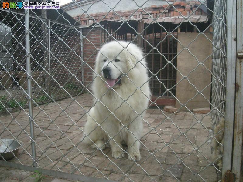 专业繁殖大白熊幼犬 CKU认证 疫苗驱虫已做好