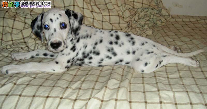 斑点 健康保证纯正可以到场来选狗选购
