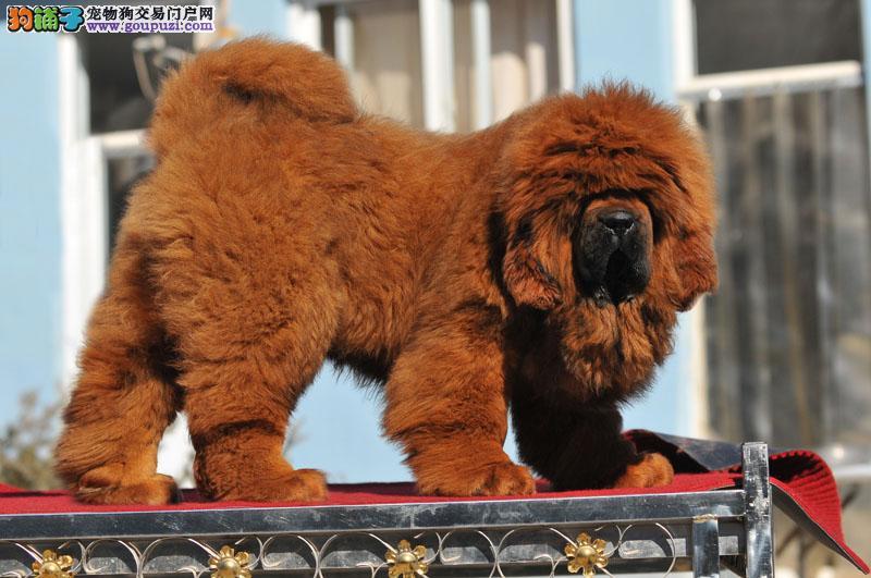 藏獒幼犬出售好藏獒极品藏獒都在这里了红獒铁包金都有