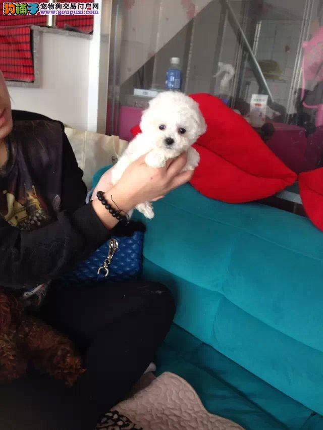 出售多只优秀的茶杯犬吐鲁番可上门实物拍摄直接视频