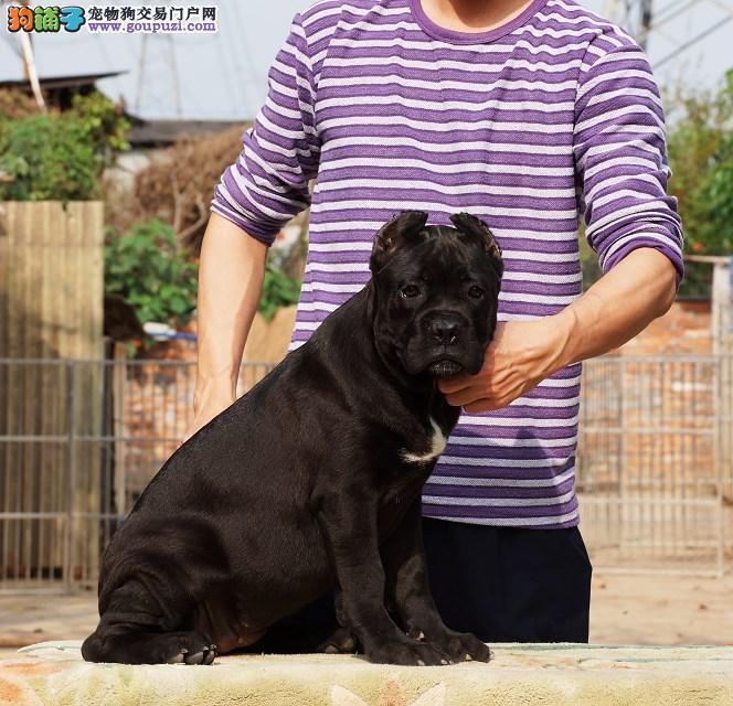 东莞高埗哪里有卖卡斯罗犬 纯种卡斯罗幼犬高埗哪里买