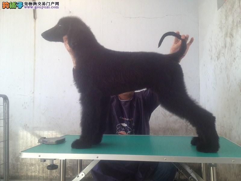出售阿富汗猎犬颜色齐全公母都有保障品质售后