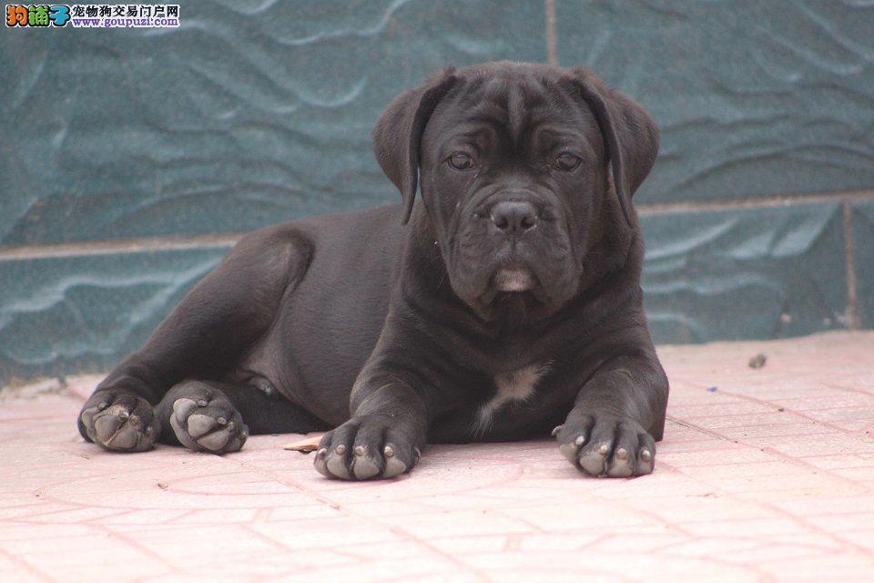 精品纯种杭州卡斯罗犬出售质量三包微信咨询视频看狗