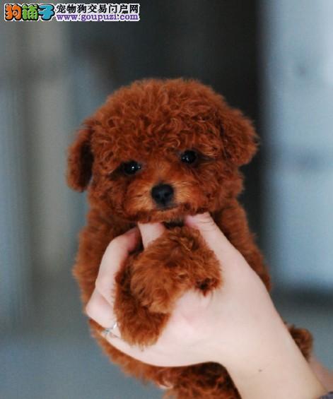 纯种茶杯犬宝宝重庆地区找主人上门可见父母