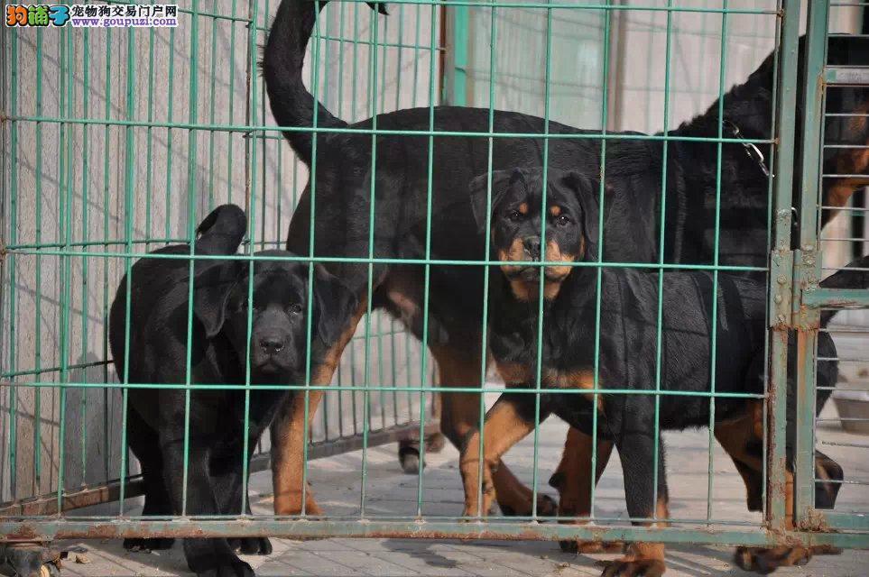 专业繁殖精品德系血统罗威纳犬 纯种健康 签协议
