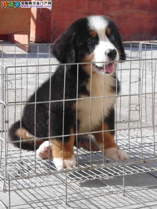 品质第一 健康第一 CKU认证纯种伯恩山犬