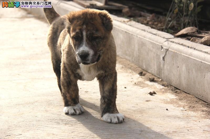 顶级优秀的纯种中亚牧羊犬热卖中周边免费送货