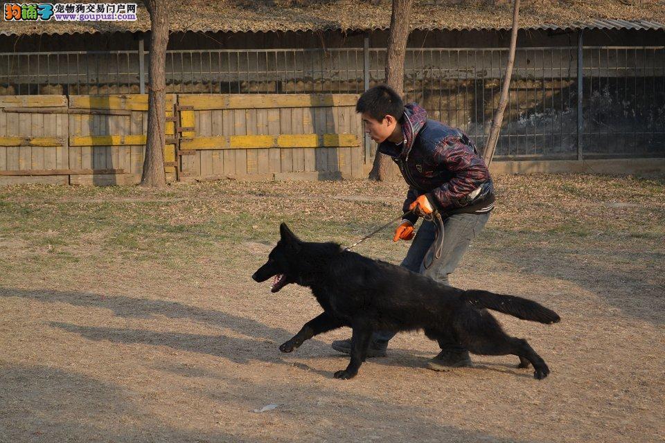 纯种比利时牧羊犬幼犬、CKU认证保健康、签订正规合同