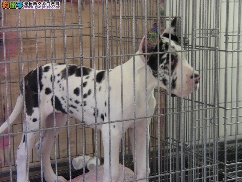 CKU犬舍认证出售纯种大丹犬包售后包退换