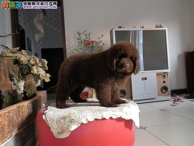 杭州养殖场直销完美品相的纽芬兰犬保终身送用品
