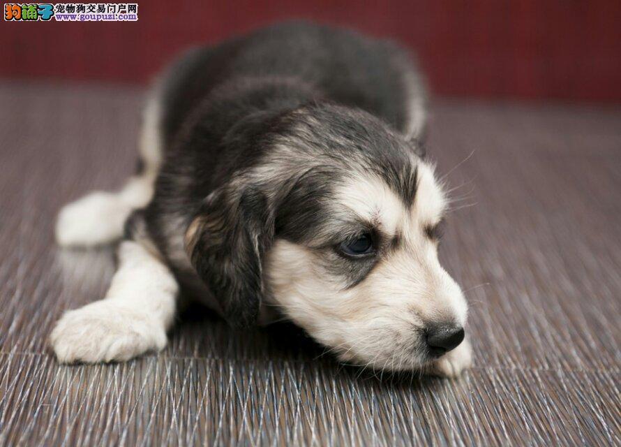 大型犬舍低价热卖极品阿富汗猎犬微信咨询看狗