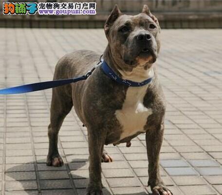 出售多种颜色北京纯种比特犬幼犬保障品质售后