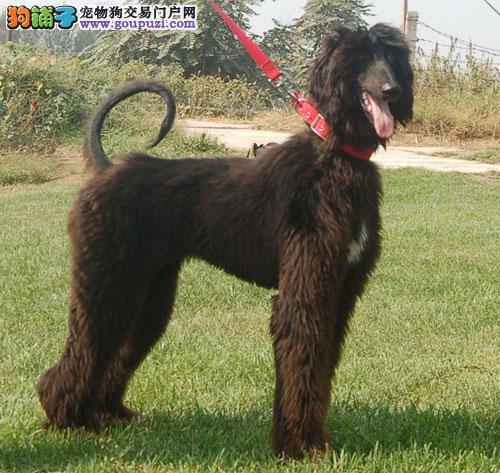 出售阿富汗猎犬颜色齐全公母都有假一赔万签活体协议