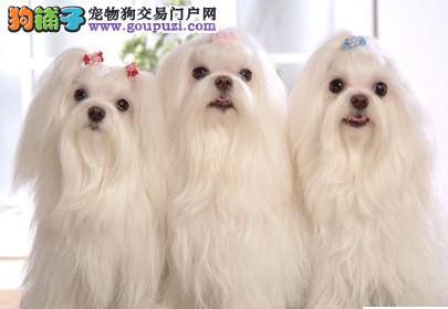 高雅气质西施犬 玩赏犬 伴侣犬的首选 疫苗全