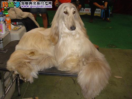 武汉出售阿富汗猎犬公母都有品质一流CKU认证品质绝对保障