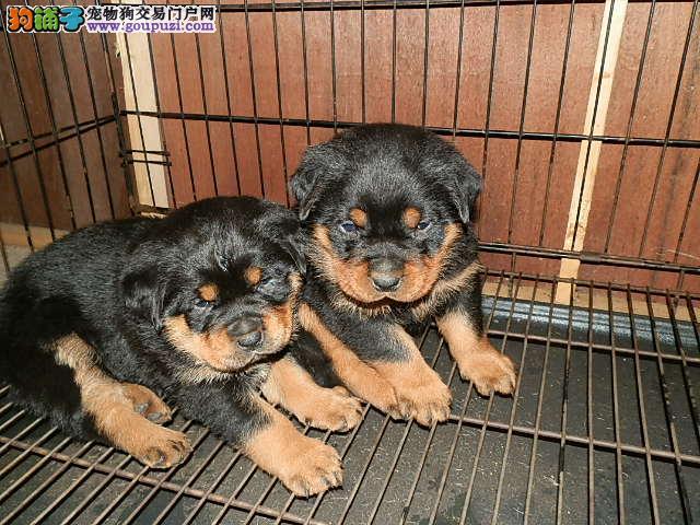 犬场创办多年 常年直销高品质罗威纳犬 品质健康有保障