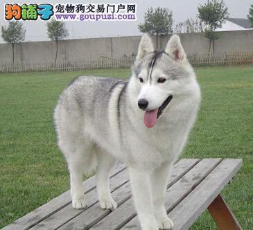 哈士奇名字由来的传说 狗品种名字的由来是什么