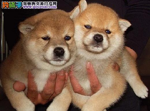 广州纯种柴犬多少钱一只 广州去哪买柴犬狗狗比较好