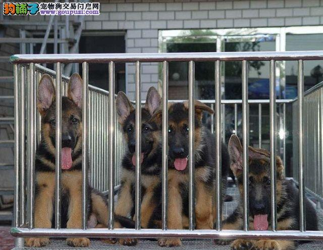 中山哪里有卖狗 中山知名犬舍 中山买狗去哪比较放心