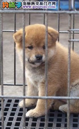 广州哪里有卖秋田犬 广州哪里有卖纯种秋田犬小狗