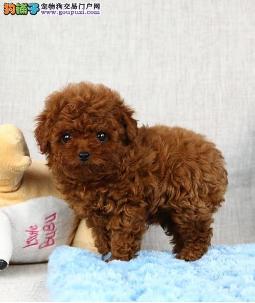 极品微小茶杯泰迪熊 高品质毛色毛量极佳茶杯犬