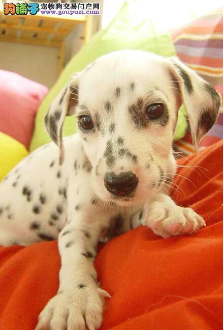 哪里有纯血统斑点狗 驲升专业出售健康斑点狗