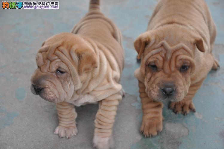 哪里有纯种沙皮犬 纯血统皱脸沙皮什么价位 齐疫苗