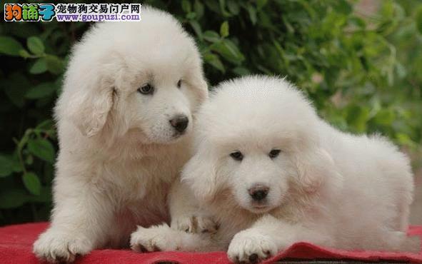 驲升售纯血统大白熊幼犬 大白熊什么价位 纯种健康