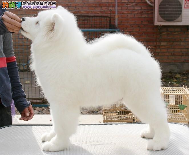 萨摩耶犬舍 专业繁殖纯种萨摩耶 赛级极品萨摩耶