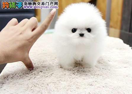 哈多里球体博美幼犬8折出售