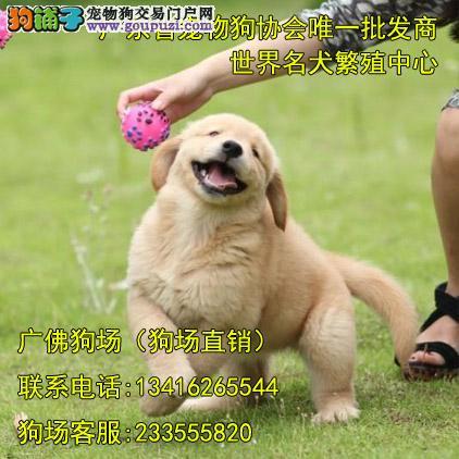 进口黄金猎犬专卖 大头版多毛量金毛宝宝待售 健康质保