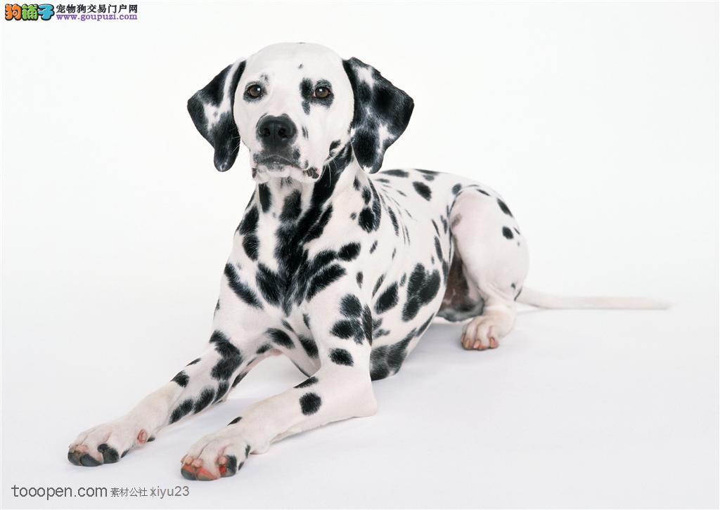 纯血统斑点狗幼犬 品质优良血统纯正 全国送货上门