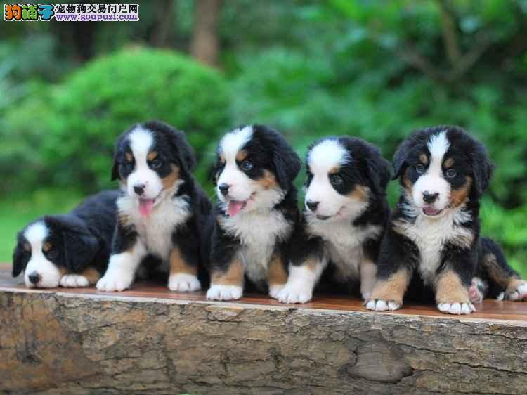 最大最专业伯恩山犬基地质量三包 犬博士犬业