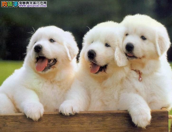 正规养殖基地繁殖大白熊终身售后服务 犬博士犬业