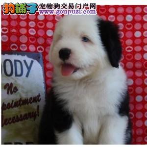 郑州知名犬舍出售多只赛级古代牧羊犬狗贩子请绕行