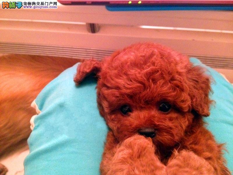 我在此只想说我 泰迪犬 保证的就是纯种健康!
