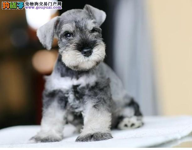 实物拍摄高品质雪纳瑞幼犬签署协议 三年质保