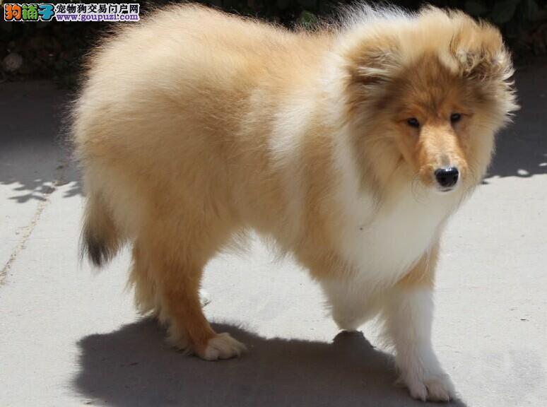 犬舍直销纯种苏格兰牧羊犬健康保证