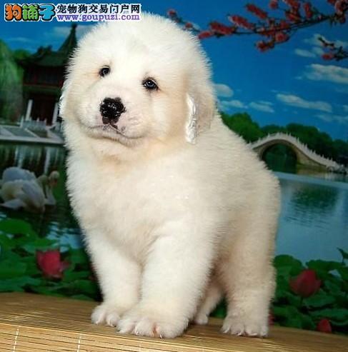 广州哪里出售大白熊 大白熊大概一只多少钱