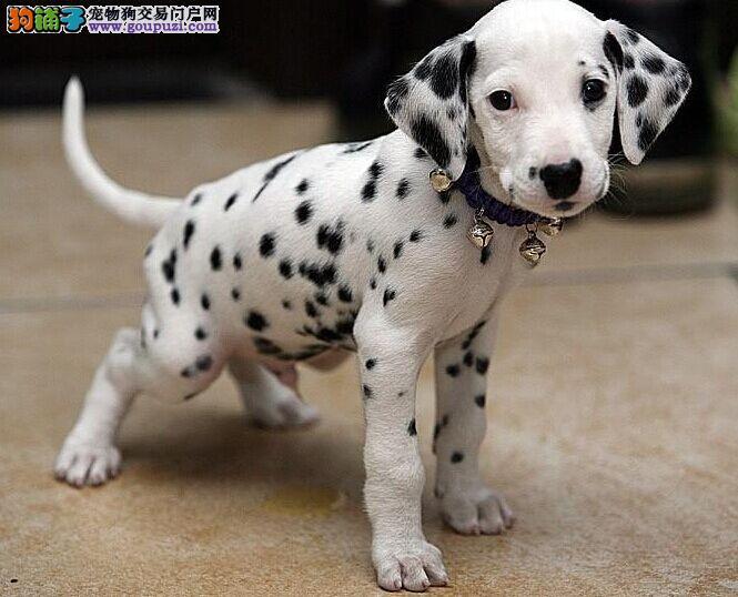 毫不羞怯,表情聪明伶俐的狗狗——斑点狗