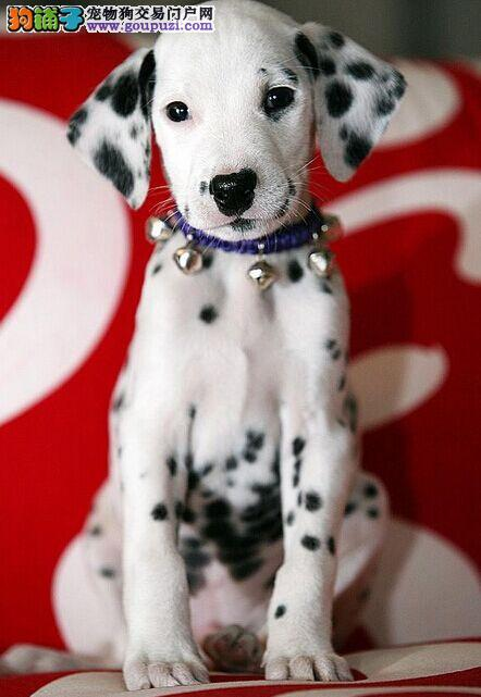 极品聪明的斑点狗宝宝纯种健康疫苗已做